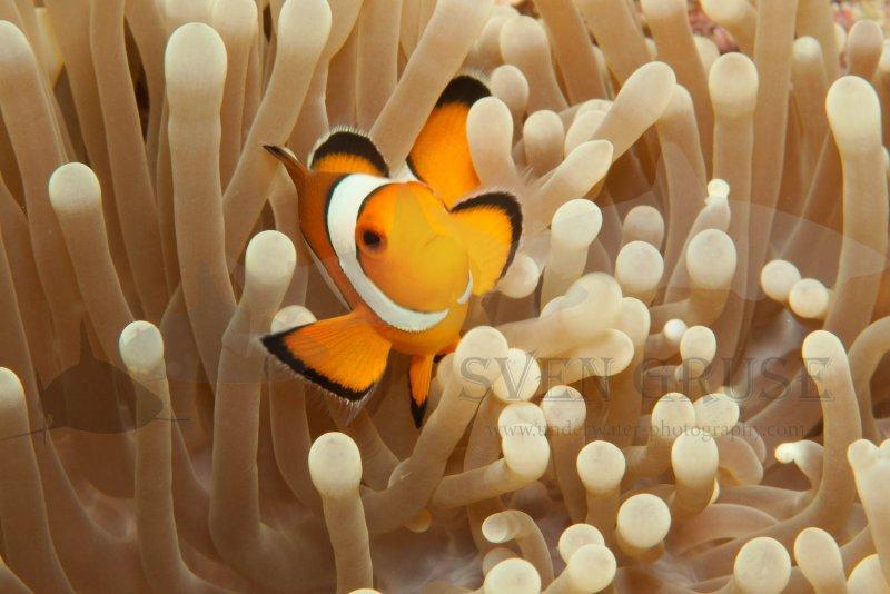 Anemonenfisch Makro