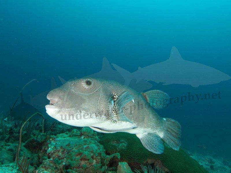 Großer Kugelfisch