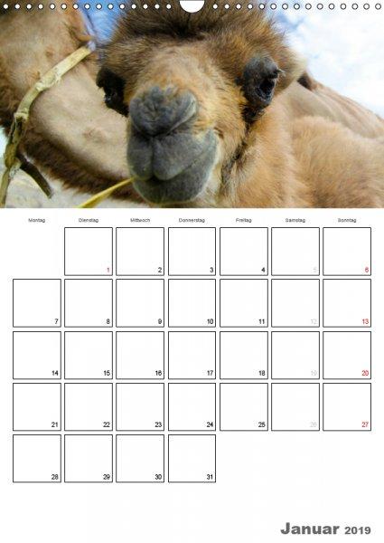 01 Januar Familienplaner Kamelporträt 2019