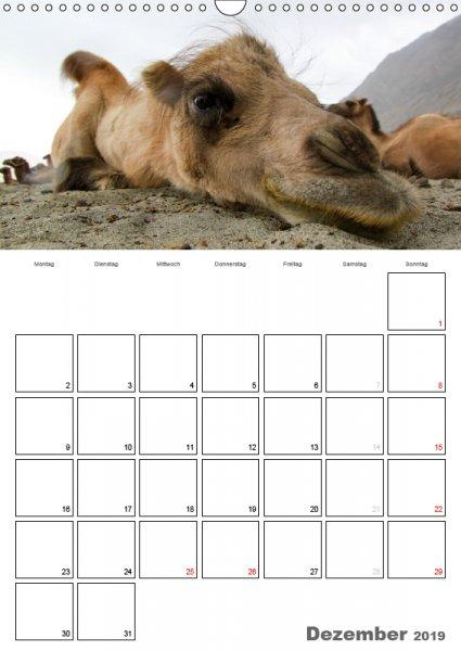 12 Dezember Familienplaner Kamelporträt 2019