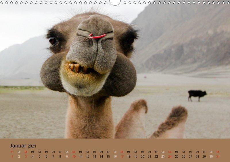 202101_Tierkalender_Kamel_Portraet_Januar