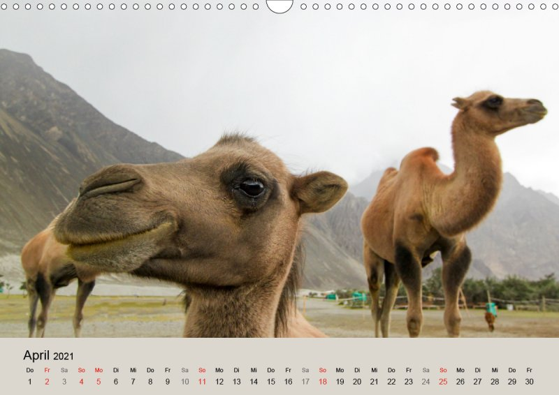 202104_Tierkalender_Kamel_Portraet_April