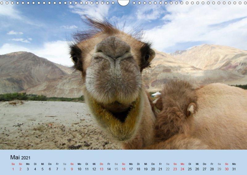 202105_Tierkalender_Kamel_Portraet_Mai