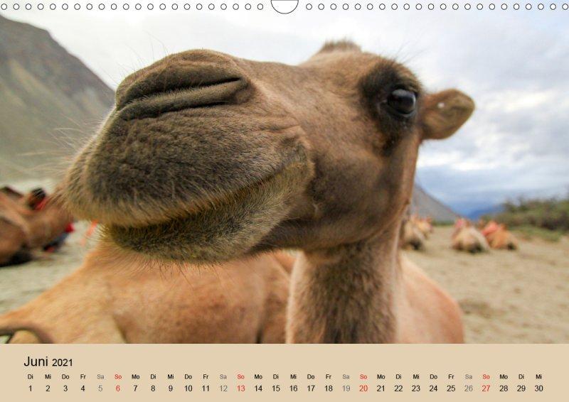 202106_Tierkalender_Kamel_Portraet_Juni