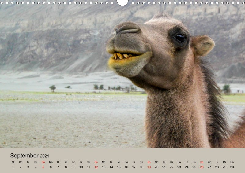 202109_Tierkalender_Kamel_Portraet_September
