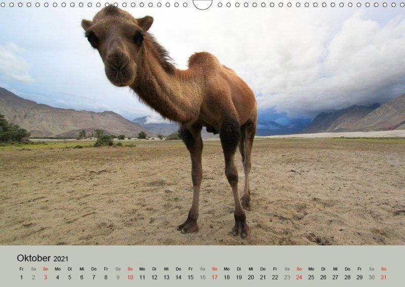 202110_Tierkalender_Kamel_Portraet_Oktober