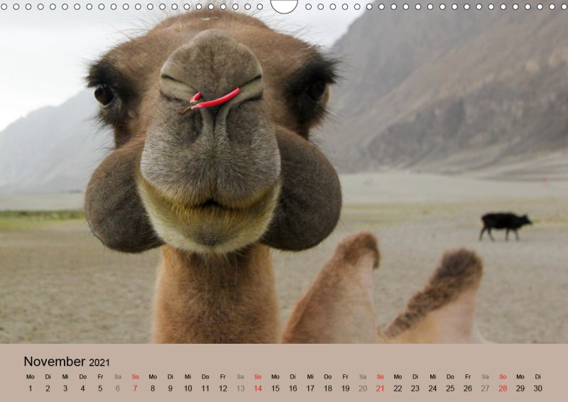 202111_Tierkalender_Kamel_Portraet_November