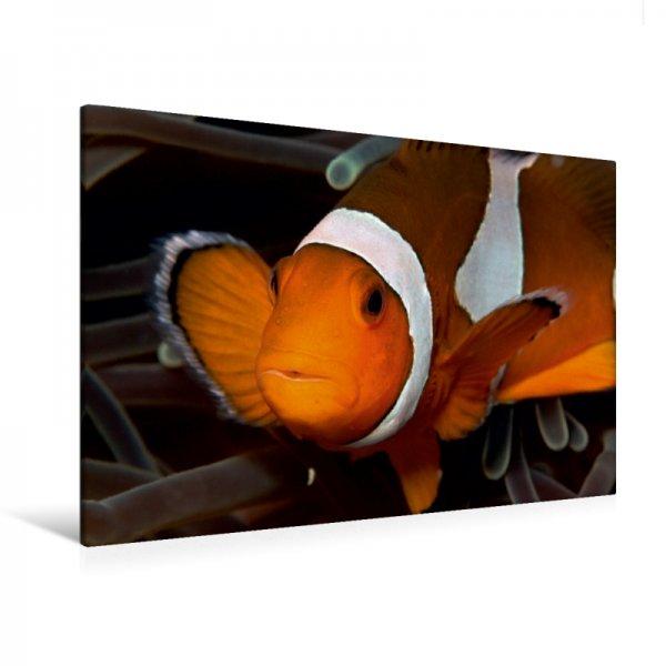 Clownfisch Leinwand