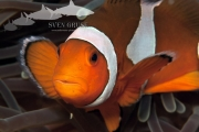 Anemonenfisch