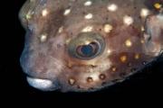 Kugelfisch Makro