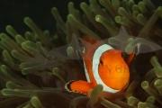 Anemonenfisch Makro (2)