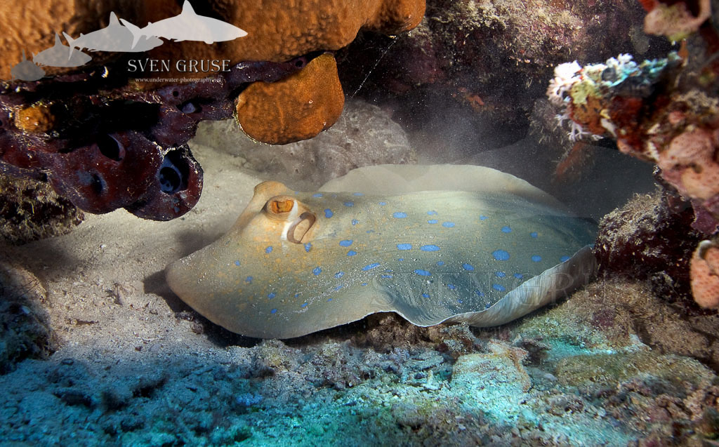 Zabargad Island – Relaxing Blue Spotted Stingrays