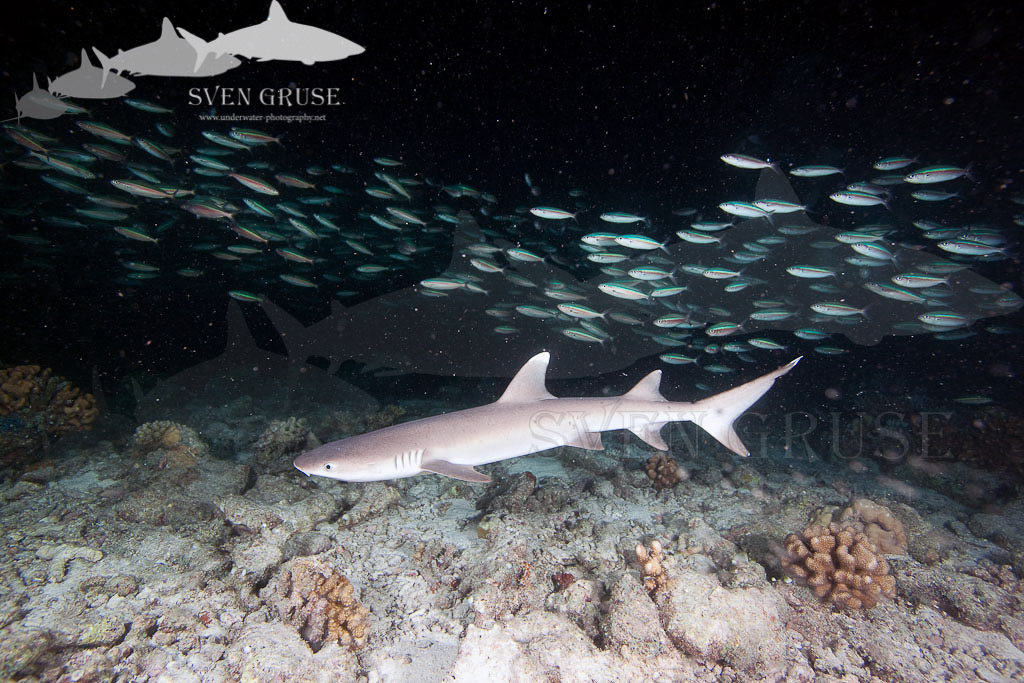 Night Dive With White Tipped Reef Sharks – Mayaa Tila Maledives