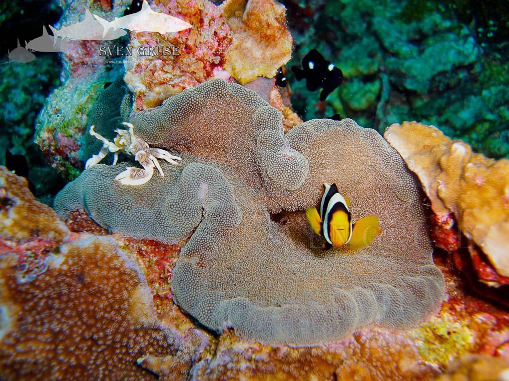 Anemone Crab And Anemone Fish