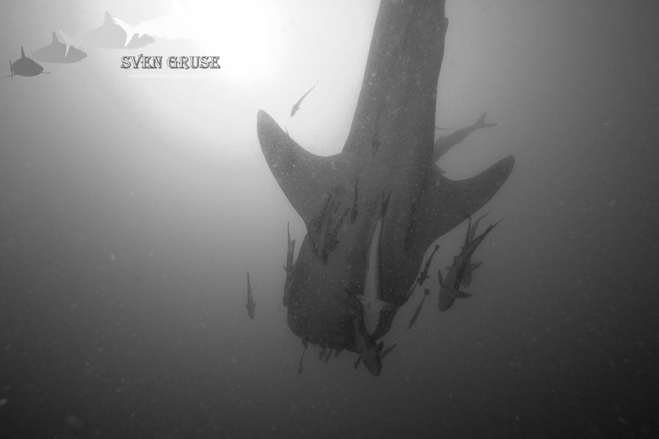 Whale Shark – Southwest Pinnacle Koh Tao