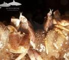 Koh Lipe anemone crabs